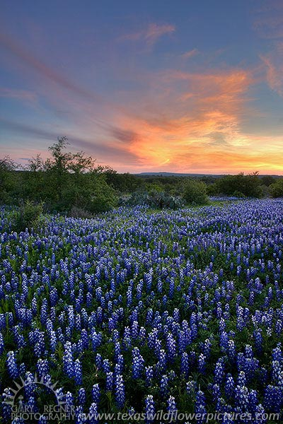 Distant Light - Texas Wildflowers, Bluebonnets in Hill Country by Gary Regner