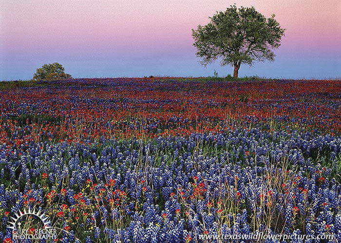 Field at Dusk - Texas Wildflowers, Bluebonnets by Gary Regner