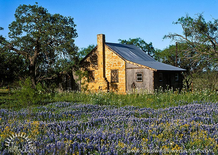 Frontier Homestead - Texas Wildflowers, Bluebonnets in Hill Country by Gary Regner