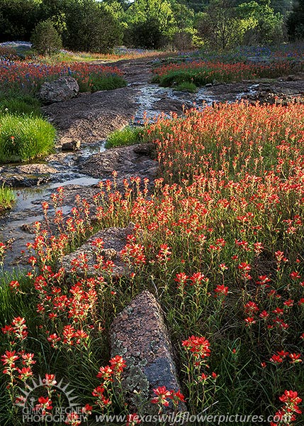 Texas Paintbrush - Texas Wildflowers in Hill Country by Gary Regner