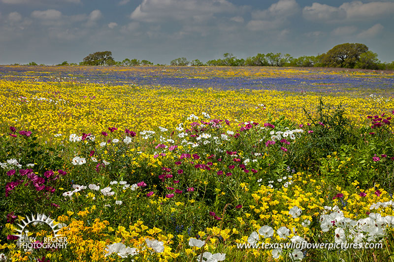 Kaleidoscope - Texas Wildflowers, Bluebonnets and Prickly Poppies by Gary Regner