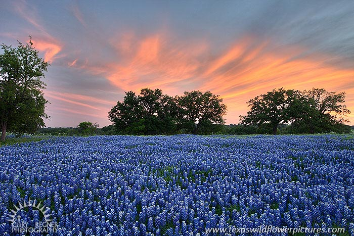 Light Show - Texas Wildflowers by Gary Regner