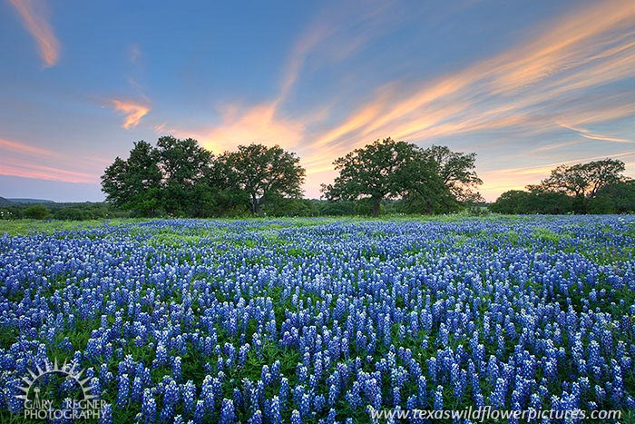 Texas wildflower and bluebonnet sightings report texas wildflower wisps texas wildflowers bluebonnets at sunset in llano county 46 mightylinksfo