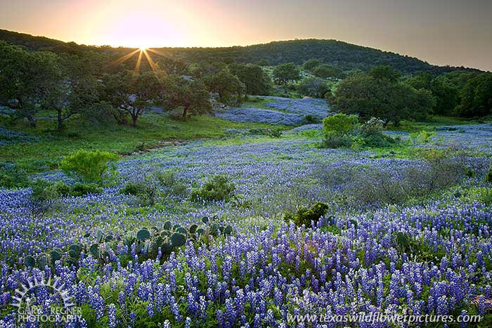 Texas wildflower and bluebonnet sightings report texas wildflower hillside blues bluebonnets at sunset in the texas hill country 331 mightylinksfo
