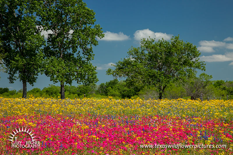 Flamboyant - Texas Wildflowers by Gary Regner