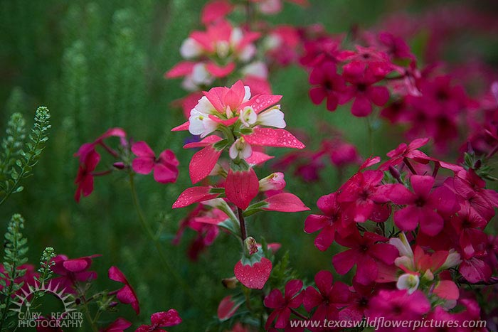 Paintbrush and Phlox - Texas Wildflowers by Gary Regner
