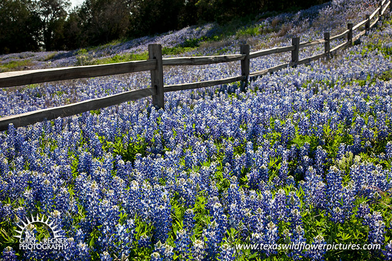 On the Fence - Texas Wildflowers by Gary Regner