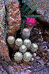 Lace Cactus - by Gary Regner