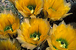 Rainbow Cactus - by Gary Regner