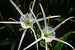 Spider Lily - by Gary Regner