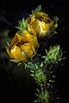 Prickly Pear - by Gary Regner