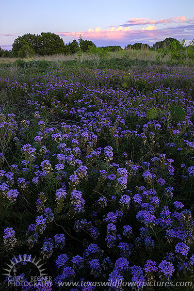 lavender colored wildflowers - photo #15
