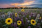 Texas Wildflowers Gallery - Spring 2016