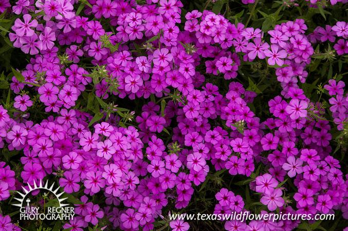 Thumbnail index of pink texas wildflowers texas wildflower texas wildflower drummond phlox phlox drummondii mightylinksfo
