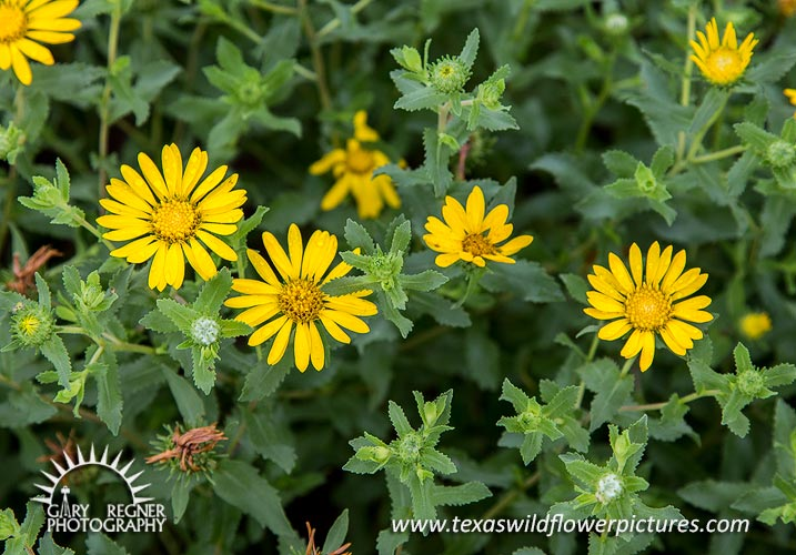Texas wildflower identification index texas wildflower pictures spring print special 20x30 prints only 150 limited time only mightylinksfo