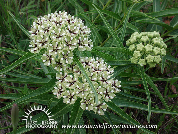 Thumbnail index of white texas wildflowers texas wildflower texas wildflower antelope horns asclepias asperula mightylinksfo
