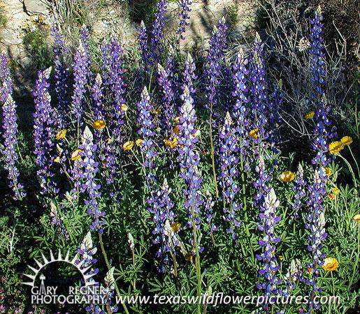 ... Texas wildflower - Big Bend Bluebonnet (Lupinus havardii) ...