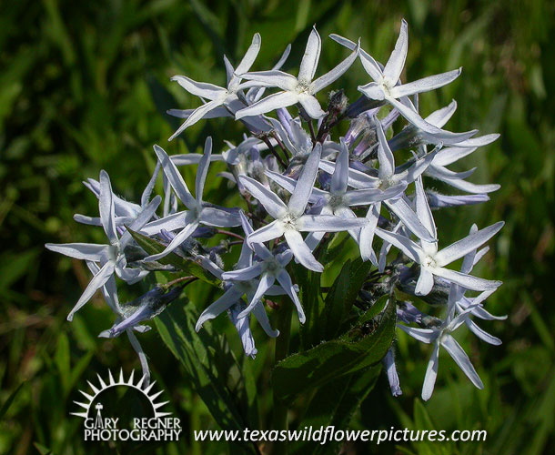 Amsonia Ciliata Seeds Amsonia Ciliata