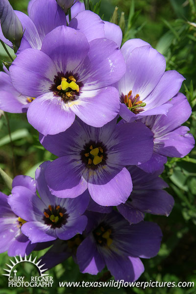 lavender colored wildflowers - photo #21