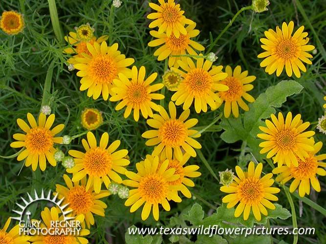 Texas Wildflower Identification Index Texas Wildflower Pictures