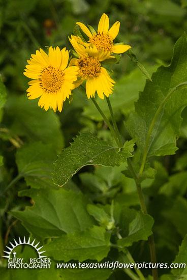 Texas Wildflower Identification Index Texas Wildflower