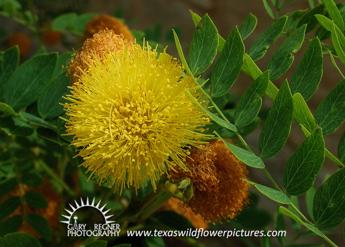 Texas wildflower identification index texas wildflower pictures golden ball lead tree mightylinksfo