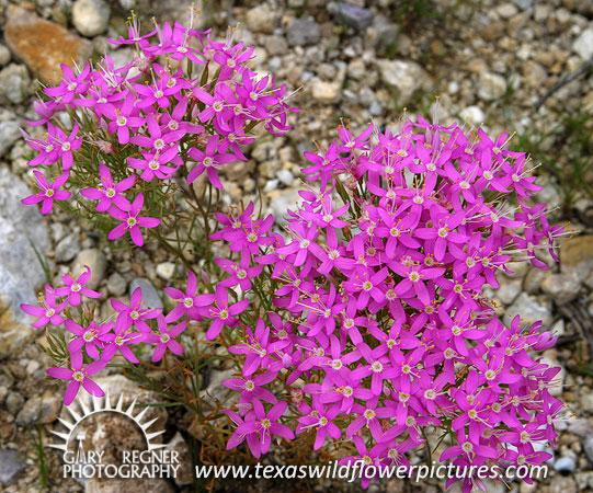 Thumbnail index of pink texas wildflowers texas wildflower texas wildflower mountain pinks centaurium beyrichii mightylinksfo