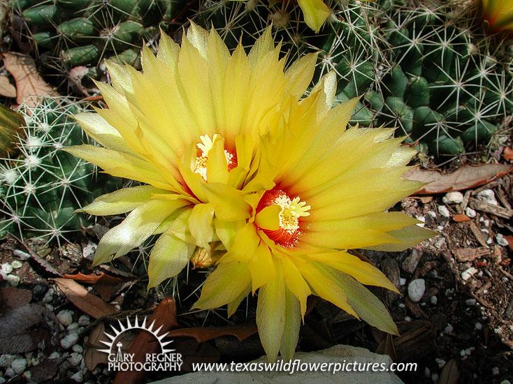 Texas wildflower identification index texas wildflower pictures nipple cactus mightylinksfo