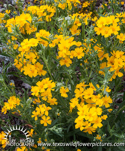 Texas wildflower identification index texas wildflower pictures paper flower mightylinksfo