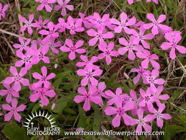 Thumbnail index of pink texas wildflowers texas wildflower texas wildflower pointed phlox phlox cuspidata mightylinksfo