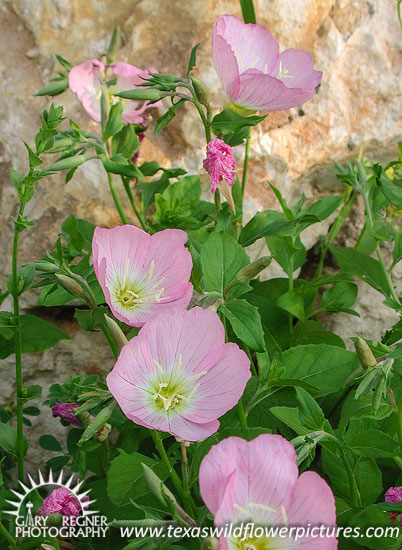 Thumbnail index of pink texas wildflowers texas wildflower texas wildflower evening primrose oenothera speciosa mightylinksfo