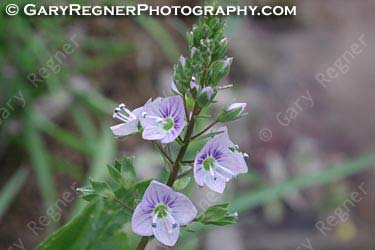 Speedwell (Wall) - WILD FLOWER IDENTIFICATION GUIDE (ID GUIDE)
