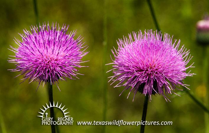Thumbnail index of pink texas wildflowers texas wildflower texas wildflower texas thistle cirsium texanum mightylinksfo